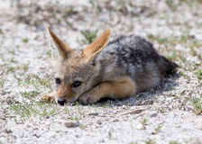 Cute Jackal baby royalty free stock photography