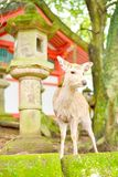 Cute Japanese deer and stone lantern at Kasuga Taisha shrine in Nara Stock Photography