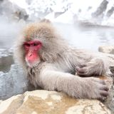 Cute japanese snow monkey sitting in a hot spring. Nagano Prefecture, Japan