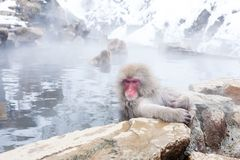 Cute japanese snow monkeys sitting in a hot spring. Nagano Prefecture, Japan