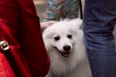 A cute Japanese Spitz puppy at a dog show. A street photo. A cropped shot, horizontal, outdoors, side view. Pets concept royalty free stock photo