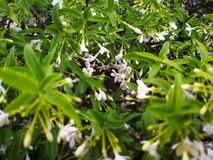 Cute Jasmine. In garden aromatic fresh stock photos