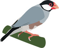 Cute java sparrow vector Stock Photo