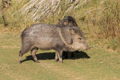 Cute Javelina Royalty Free Stock Photography