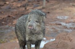 Cute javeline hog in the wild standing up stock photos