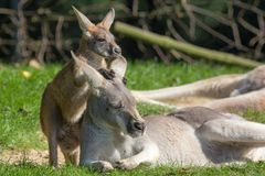 Cute joey animal image. Baby kangaroo holding onto mother. Cute joey animal image. Baby kangaroo holding on to its mothers ear for comfort. Australian marsupial royalty free stock image