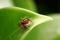Cute jumping spider Royalty Free Stock Photography