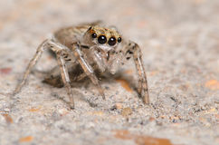 Cute Jumping Spider. Cute little jumping spider up close Royalty Free Stock Images