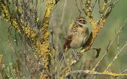 A cute juvenile Reed Bunting Emberiza schoeniclus perching in a bush. It is waiting for its parents to come back and feed it. Royalty Free Stock Image