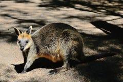 Cute kangaroo. A cute kangaroo baby is looking at you Stock Photo