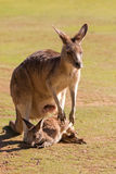 Cute Kangaroo with Joey outside the pouch standing on green field. Cute Kangaroo with Joey outside pouch standing on green field in the sun, afternoon in Stock Image