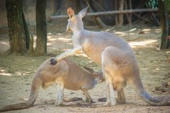 Cute kangaroo marsupial from the family Macropodidae mammal anim Royalty Free Stock Photo