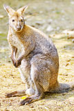 Cute Kangaroo. Royalty Free Stock Photos