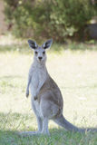 Cute Kangaroo. Cute young kangaroo standing and looking at the camera in the Australian bush; full body pose and slightly low saturation royalty free stock photos