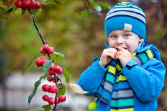 Cute kid picking up small wild red apples Stock Photos