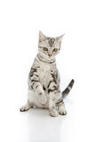 Cute Kiiten American Shorthair is looking Stock Photos