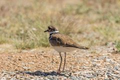 Cute Killdeer Standing. A cute killdeer standing in a field Stock Photography