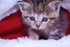 Cute kitten. In a Santa's cap stock photography