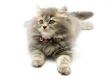 Cute Kitten. 3 Month sitting in white background Stock Photography