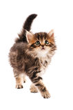 Cute kitten. Cute little Siberian kitten isolated on white background stock photo