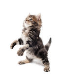 Cute kitten. Cute little Siberian kitten isolated on white background stock image