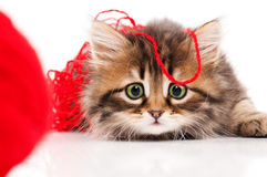 Cute kitten. Cute little Siberian kitten with red clew isolated on white background Royalty Free Stock Images
