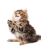 Cute kitten. Cute little Siberian kitten isolated on white background royalty free stock images
