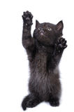 Cute kitten. A cute black kitten standing on his back paws and looking up stock photo
