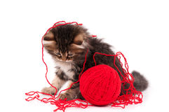 Cute kitten. Cute little Siberian kitten with red clew on white background stock image