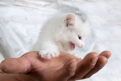Cute kitten. Cute little kitten in the hands of his loving nanny - detail Royalty Free Stock Photo