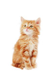 Cute kitten. Cute foxy-red kitten sitting on white background  and looking upwards Royalty Free Stock Images