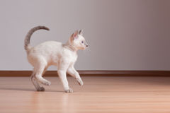 Cute kitten. Adorable cute playful siamese kitten stock photo