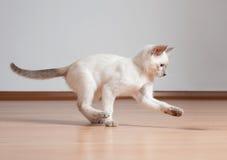 Cute kitten. Adorable cute playful siamese kitten royalty free stock photo