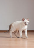 Cute kitten. Adorable cute playful siamese kitten royalty free stock images