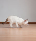Cute kitten. Adorable cute playful siamese kitten royalty free stock image