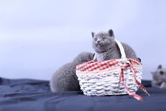 Small kitten in a basket, blue background. Cute kitten in a basket, British Shorthair cats, copyspace, studio photo session royalty free stock photo