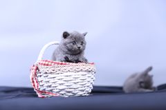 Small kitten in a basket, blue background. Cute kitten in a basket, British Shorthair cats, copyspace, studio photo session stock photo