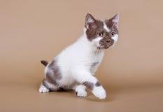 Cute Kitten on a beige background. Cute brown and white kitten on a beige background Stock Photo