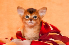 Cute  kitten with big ears Royalty Free Stock Images
