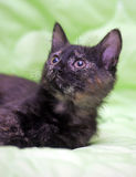 Cute kitten black with ginger Royalty Free Stock Photography