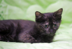 Cute kitten black with ginger Royalty Free Stock Photos