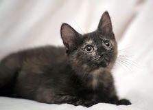 Cute kitten black with ginger Stock Image