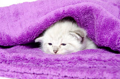 Cute kitten in a blanket. Cute baby kitten resting inside of a purple blanket Royalty Free Stock Photo