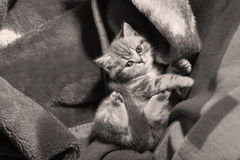 Cute kitten in a blanket Stock Photography