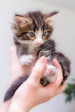 Cute kitten with blue eyes. Charming kitten on a womans hands Royalty Free Stock Photography