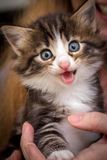 Cute kitten with blue eyes. Charming kitten on a womans hands Stock Photo