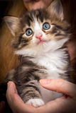 Cute kitten with blue eyes. Сharming kitten on a woman's hands Royalty Free Stock Photo