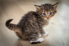 Cute kitten with blue eyes. On wooden floor Royalty Free Stock Image