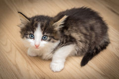 Cute kitten with blue eyes. On wooden floor Royalty Free Stock Photos