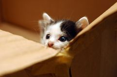 Cute Kitten In Box. Cute looking kitten looking out in box Royalty Free Stock Images